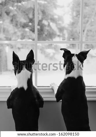 Boston Terrier Dogs at Window - stock photo