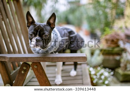 Boston Terrier equipped with warm jacket during a walk in autumn on a cold day - stock photo