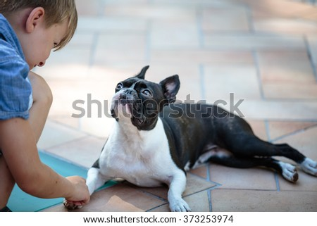 Boston Terrier eyeing boy who wants to play Outdoors on a warm sunny summer day