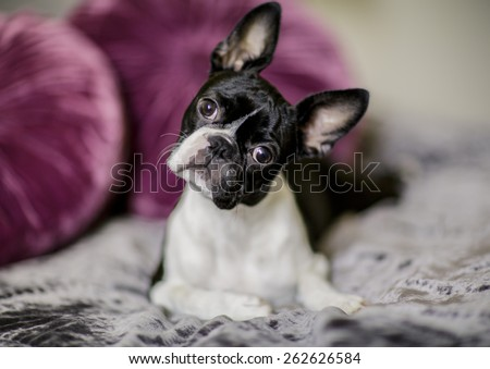 Boston Terrier Fina relaxing on her masters bed - stock photo