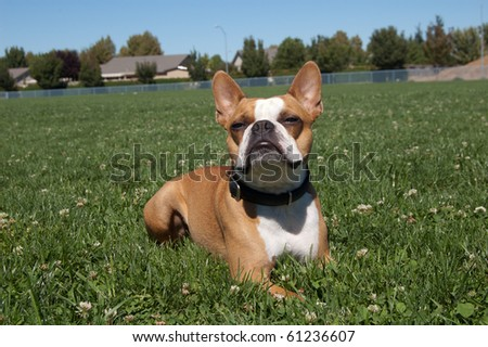 Boston terrier in the grass - stock photo