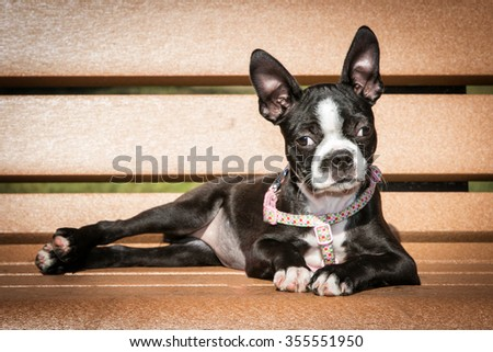 Boston Terrier laying on bench - stock photo