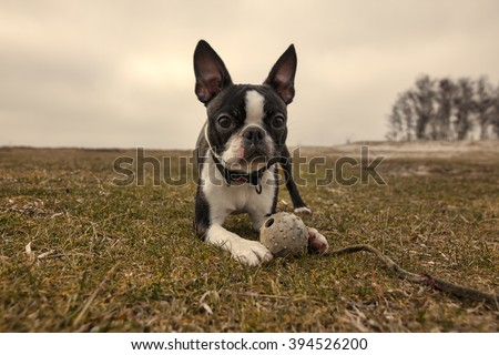 Boston terrier lies on grass with a toy/Boston terrier puppy - stock photo
