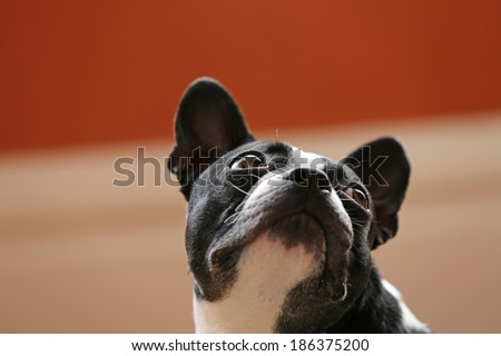 Boston Terrier looking up - stock photo
