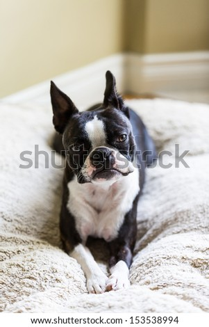 Boston Terrier on Dog Bed - stock photo