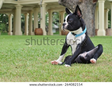 Boston Terrier on the green grass, focus on dog face. For copy space on left side. - stock photo
