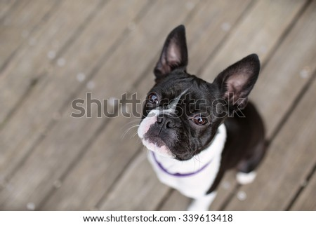 Boston Terrier on wooden planks looking up to the camera - stock photo