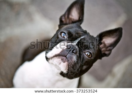 Boston Terrier Outdoors on a warm sunny summer day - stock photo