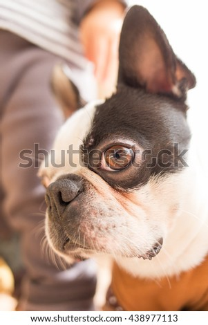 Boston terrier/Pet/Dog