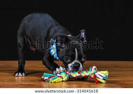 Boston terrier playing with rope toy on table