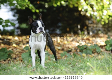 Boston terrier portrait in the garden - stock photo
