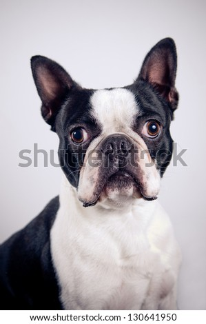 Boston terrier portrait on simple background - stock photo