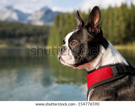 Boston Terrier Profile with Lake and Mountains in Background - stock photo