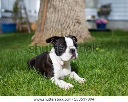 Boston Terrier Puppy - stock photo