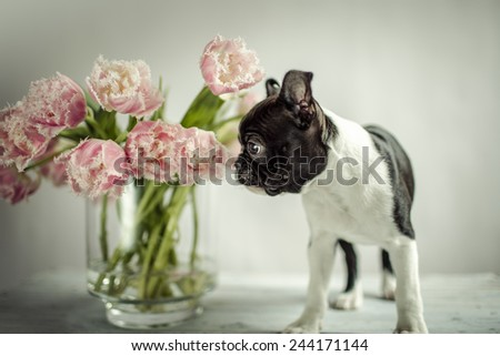 Boston Terrier Puppy and Tulip Flowers - stock photo