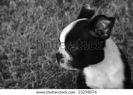 Boston Terrier Puppy in black and white.