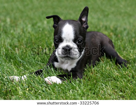 Boston Terrier puppy in the grass. - stock photo
