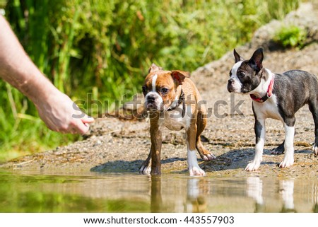 Boston terrier puppy in the water