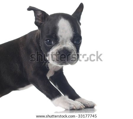Boston Terrier puppy isolated on white. - stock photo