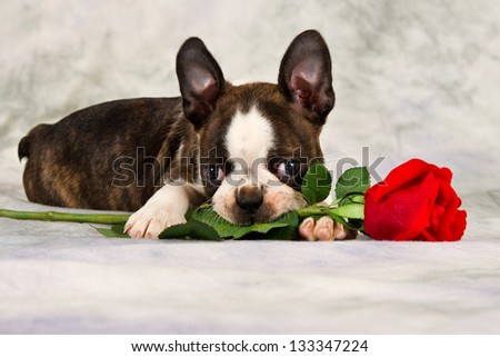 Boston terrier puppy lay down and chew on flower - stock photo