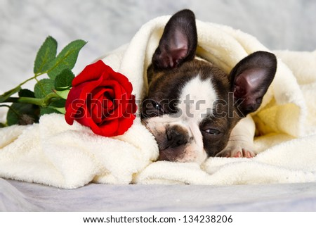 Boston terrier puppy lay down and chew on flower in towel