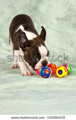 Boston terrier puppy play with colorful toy peaceful - stock photo
