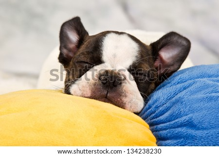 Boston terrier puppy sleep on soft toy tired peaceful - stock photo
