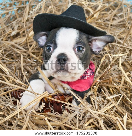 Boston Terrier puppy wearing a cowboy hat sitting in a pile of straw. - stock photo