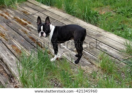 Boston terrier puppy when staying outdoors - stock photo