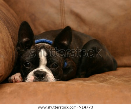 Boston Terrier puppy with ears standing up - stock photo
