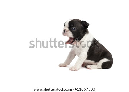 boston terrier puppy with tongue out on white background isolated - stock photo