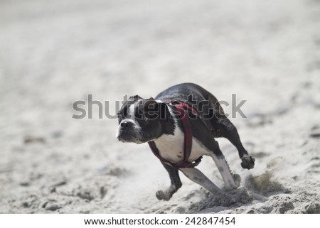 Boston Terrier Running on the Beach