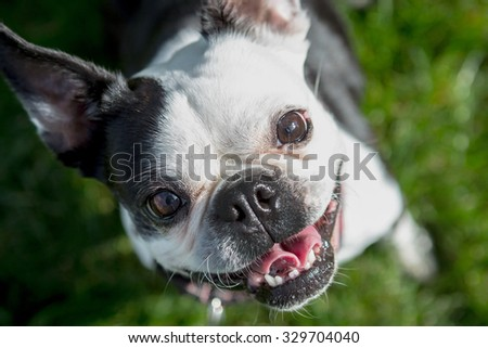 Boston Terrier sitting in the grass tilting it's head