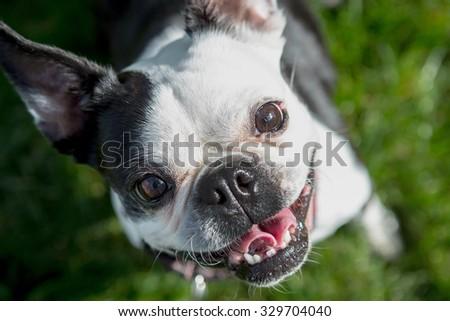 Boston Terrier sitting in the grass tilting it's head - stock photo