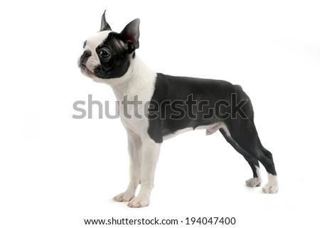 Boston Terrier standard in white studio - stock photo