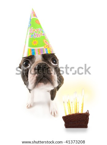 boston terrier with a birthday hat on
