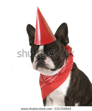 boston terrier with a red bandana on - stock photo