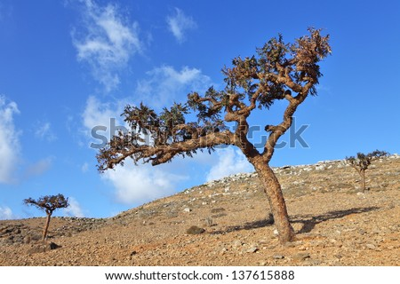 Boswellia - frankincense tree - Socotra island  - stock photo