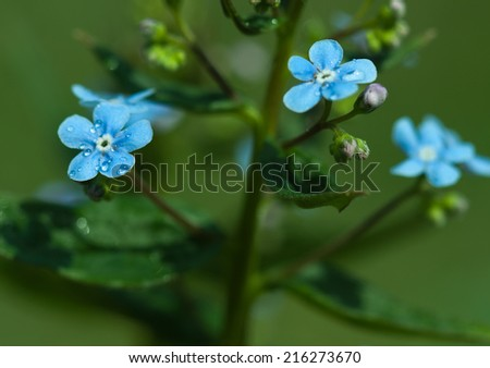 Botanic gardening plant nature image: forget-me-not (myosotis, boraginaceae, cynoglossum) flowers with rain drops (dew) closeup among green plants over blurred background. Can be used as a wallpaper