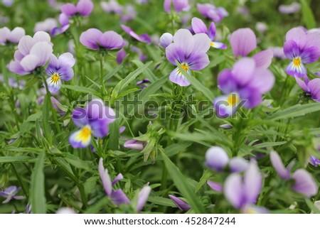Botanic gardening plant nature pansy (viola tricolor, Viola cornuta)  - stock photo