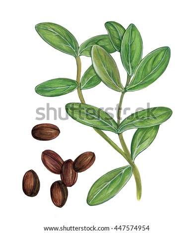 botanic illustration of jojoba ( Simmondsia chinensis) plant with leaves and seeds
