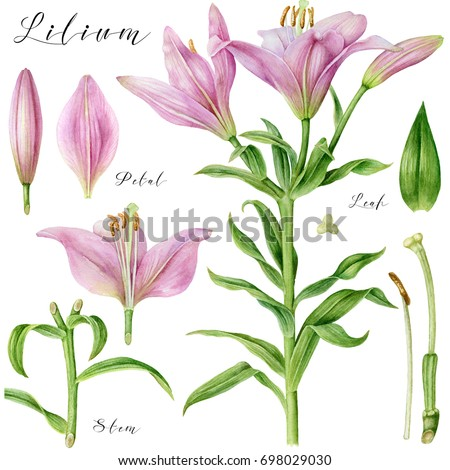 Botanical Art Watercolor Pink Pale Lily Stock Illustration 698029030 ...