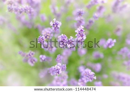 Botanical background of lavender herb with small DOF