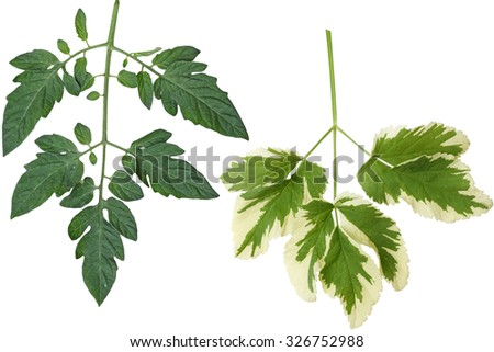 Botanical tomato leaf isolated on white background - stock photo