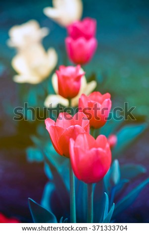 Botanical Tulips - stock photo