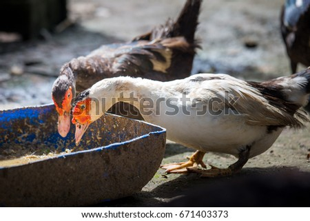 Both mothers ducks eating food put in a cage
