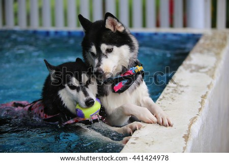Both of Siberian husky black and white colors played in swimming pool, dog playing, dog swimming - stock photo