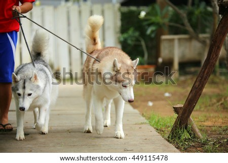 Both of siberian husky on leash in the park, dog on leash, dog activity - stock photo