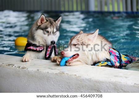 Both of siberian husky wear life jacket play toy in swimming pool, dog swimming, dog activity, fluffy dog, happy dog - stock photo