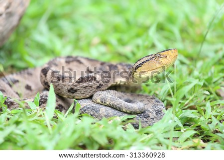 Bothrops asper is a venomous pit viper species ranging from southern Mexico to northern South America. It is considered the most dangerous snake in Costa Rica and Panama. - stock photo